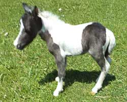 Cherokee's filly